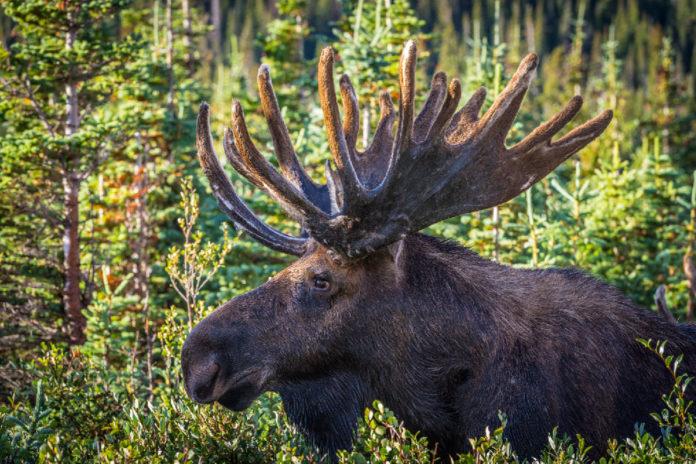 Norma moose hunt 2015