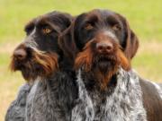 seminario cane da utilità venatoria drahthaar