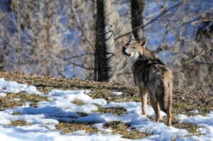 petizione Arnold Schuler prelievo controllato del lupo