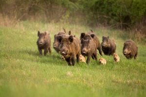 nove cinghiali adulti e quattro piccoli: caccia nelle zone rete natura 2000 nelle Marche