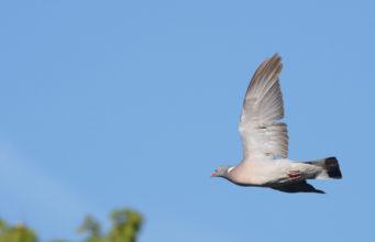 A caccia nelle zone Rete Natura 2000 delle Marche colombaccio in volo